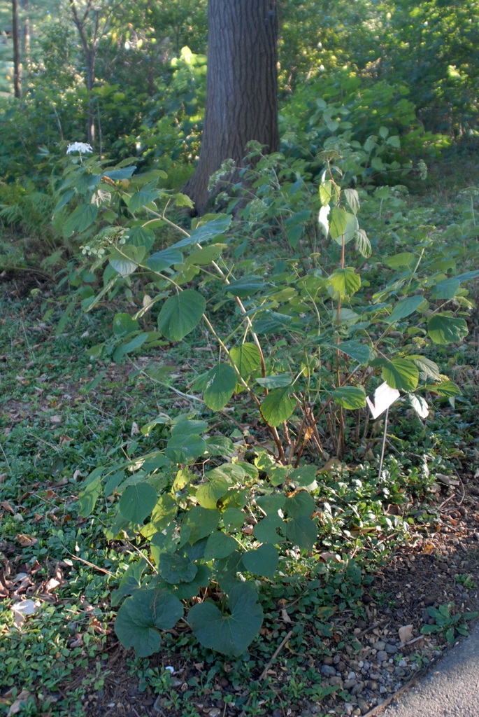 Hydrangea arborescens ssp. radiata