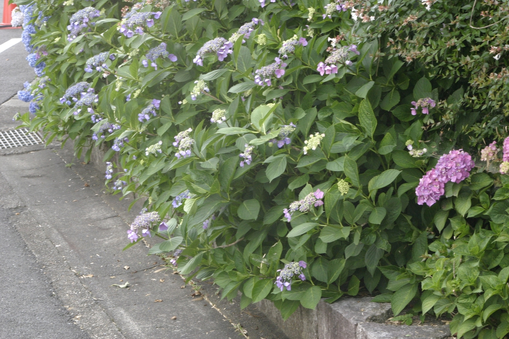 Hydrangea bordering edge of road