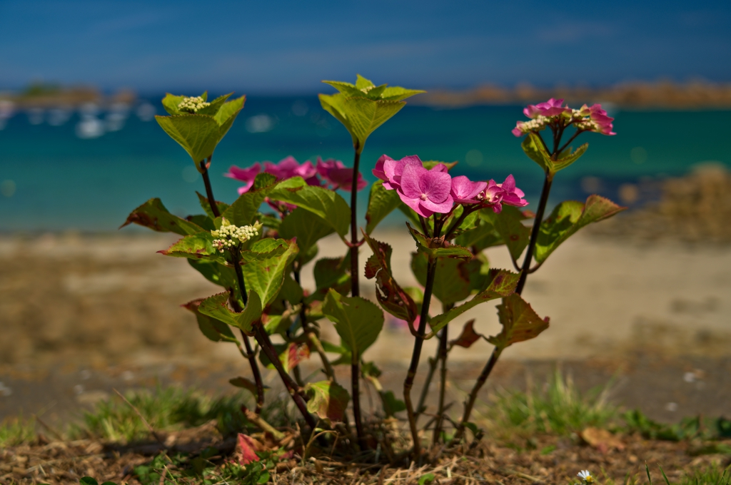 Hydrangea's form; near the sea