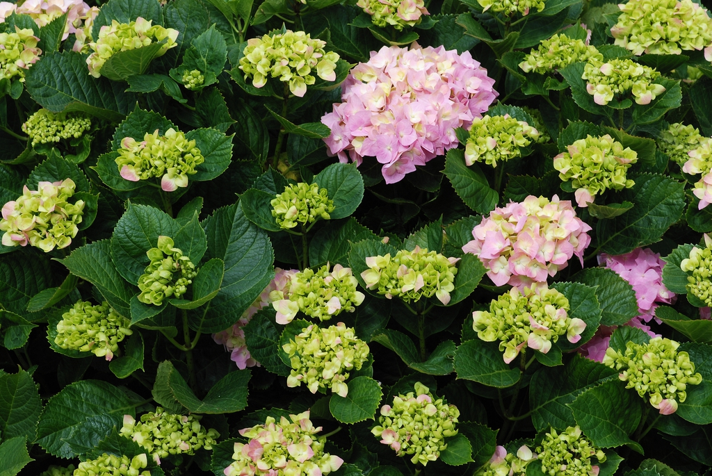 Hydrangea macrophylla leaves and flowers