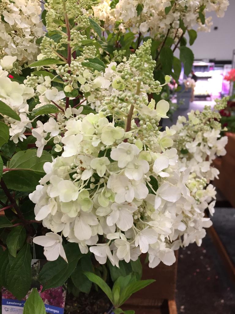 'Lavalamp Candelabra' flowers