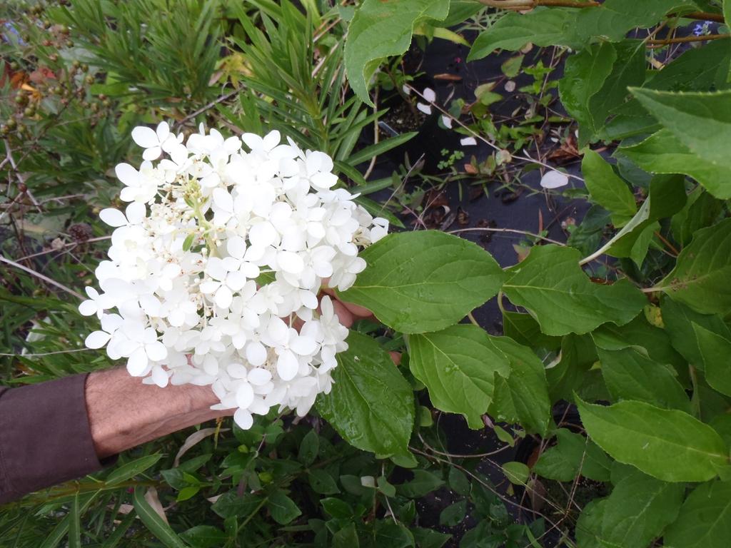 'Phantom' Flower and Leaf