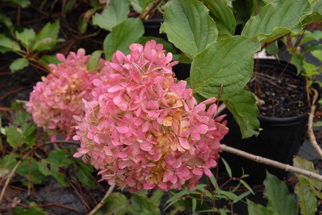'Phantom' Flower Close-Up