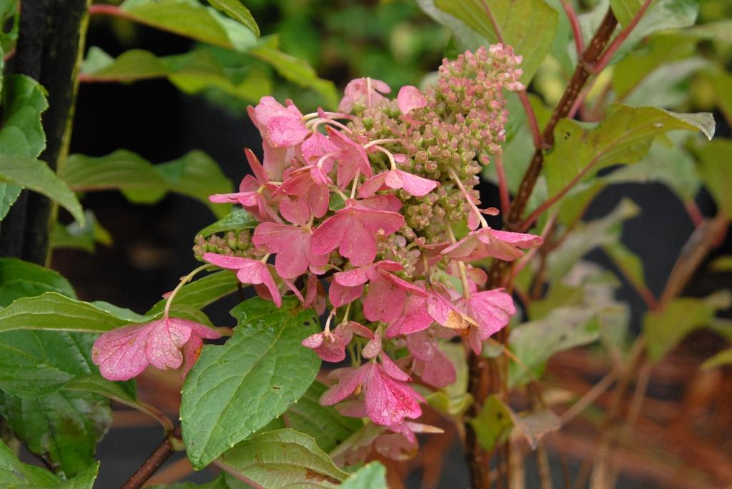 'Pinky Winky' Flower