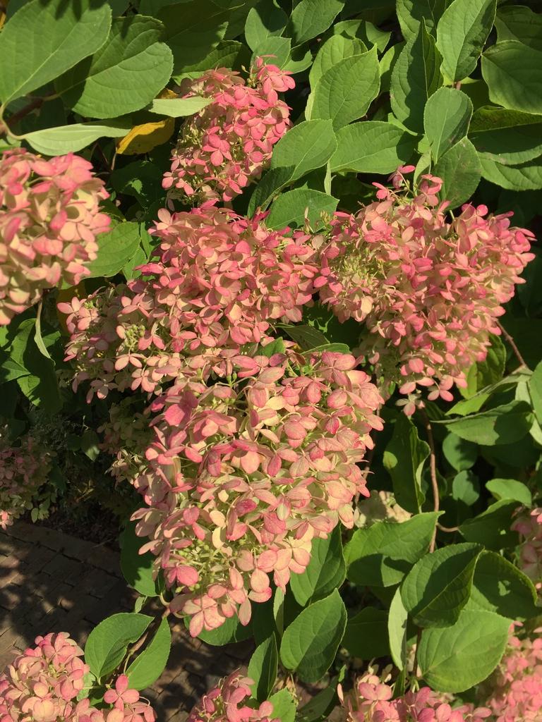 'Grandiflora' flowers