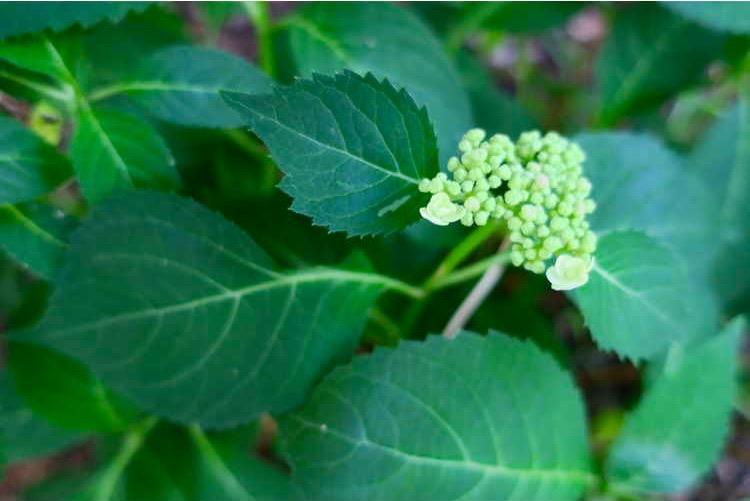Hydrangea serrata 'Annie's Blue' bud and leaf