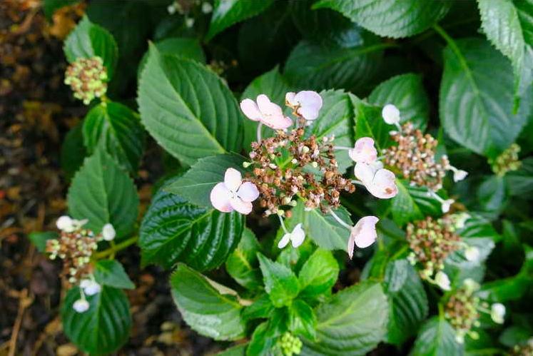 Hydrangea serrata 'Annie's Blue'