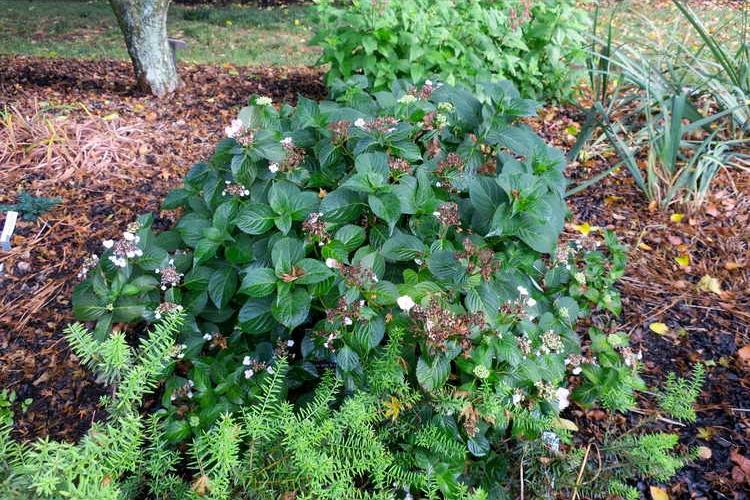 Hydrangea serrata 'Annie's Blue' plant form