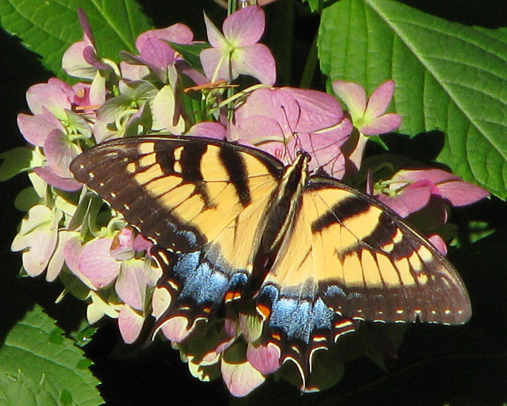Hydrangea with Eastern Tiger Swallowtail