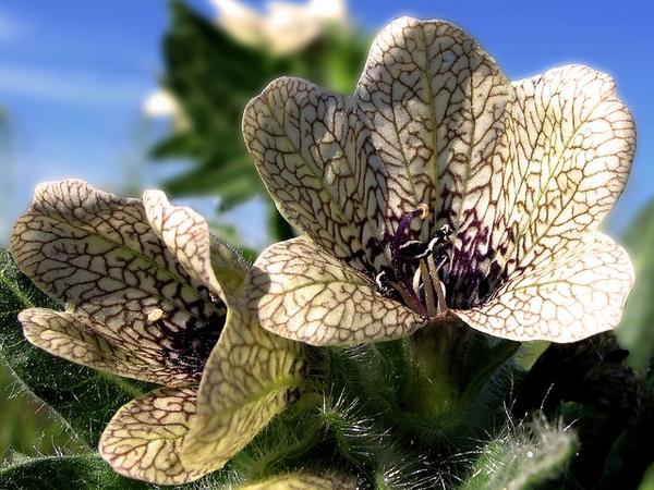Hyoscyamus nigra