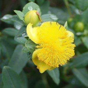 Hypericum frondosum 'Sunburst'