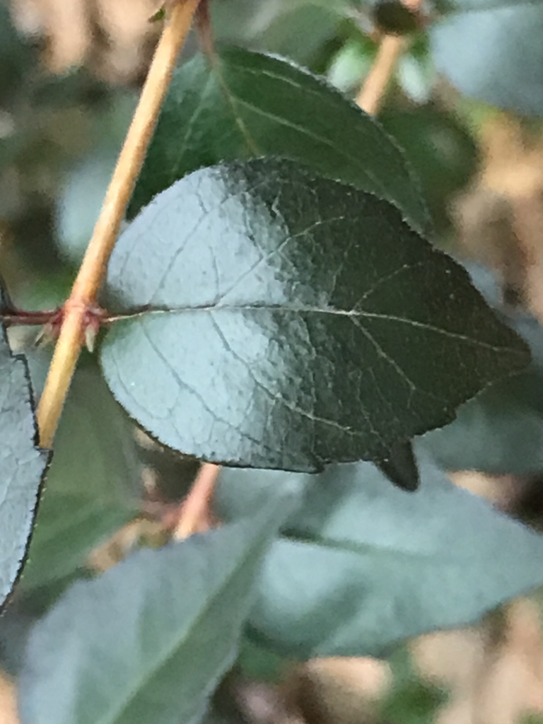 Leaf of 'Ruby Anniversary' in December