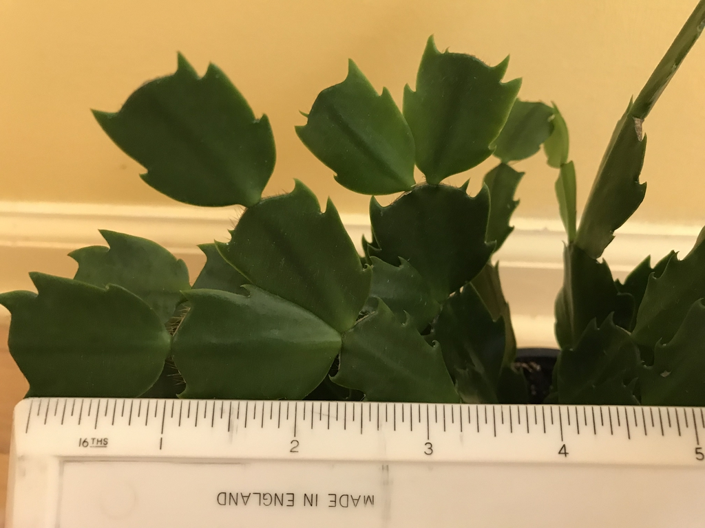 Sessile green leaves of Schlumbergera truncata
