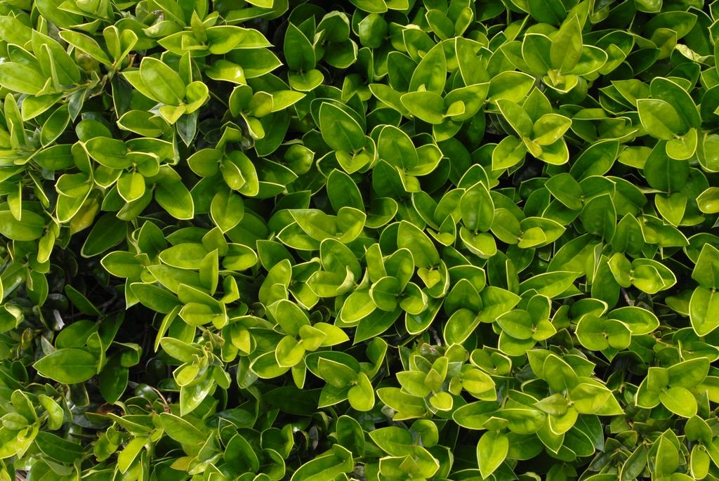 Ilex cornuta 'Carissa' Leaves