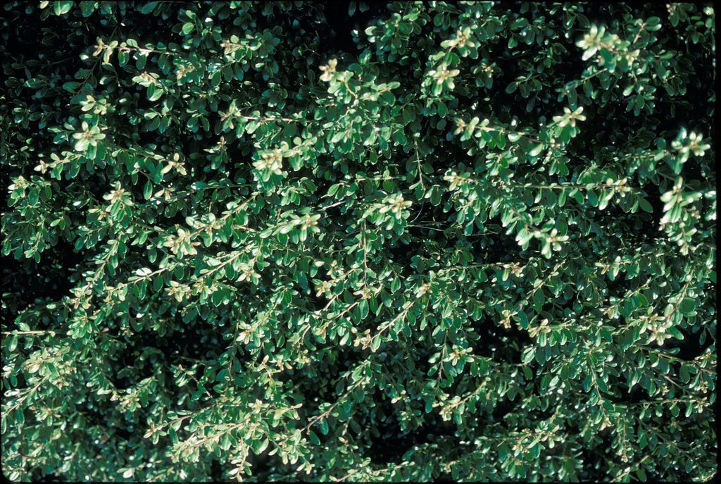 Ilex crenata 'Compacta' Leaf