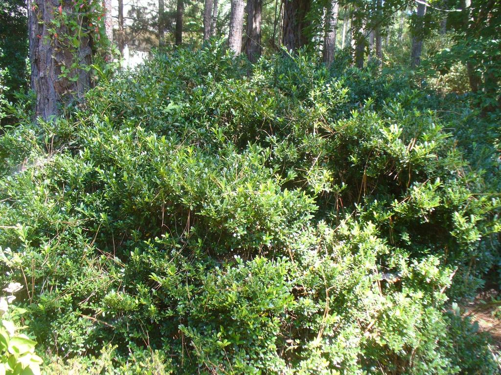 I. crenata 'Hoogendorn' form in the summer in Moore County