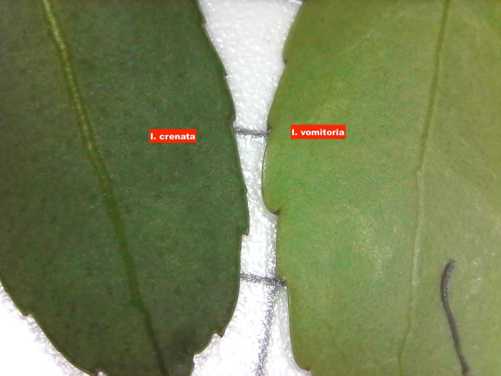 Ilex crenata leaf compaired to Ilex vomitoria