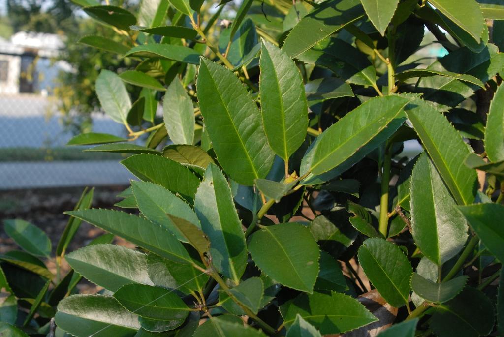 'Purple Power' Leaf