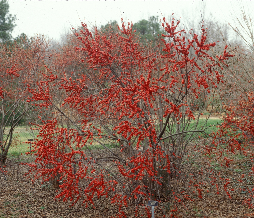 Ilex verticillata 'Winter Red' Form