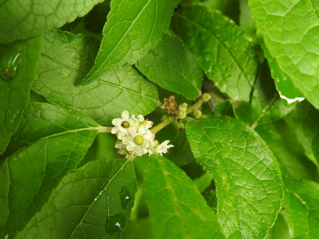 Ilex verticillata 'Winter Gold' flowers