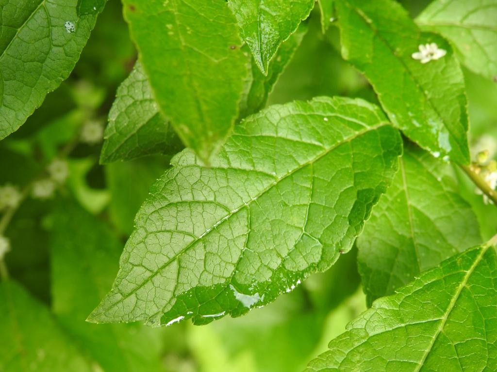 Ilex verticillata 'Winter Gold' leaf top