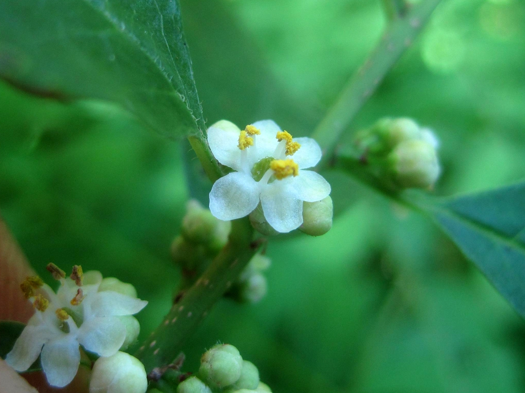 Ilex verticillata male flowers