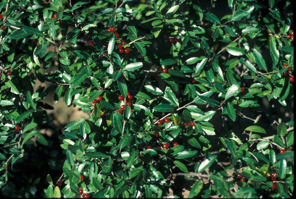 Ilex vomitoria Fruit and Leaf