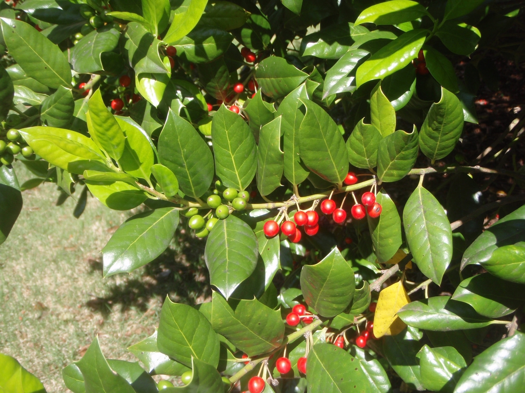 Ripe and unripe round berries clustered on a twig