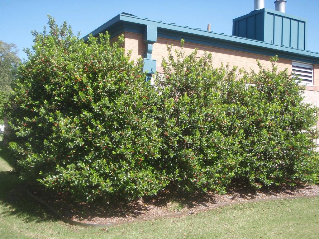 Three Ilex x 'Nellie R. Stevens' bushes used as a hedge