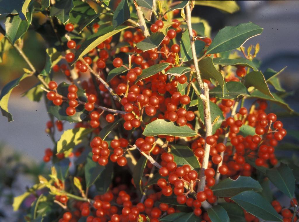 Ilex x attenuata 'Savanah' Fruit
