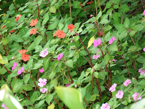 Impatiens walleriana