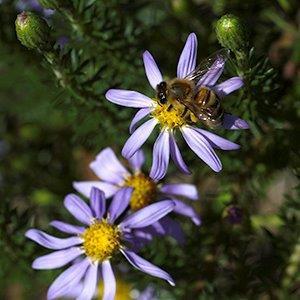 Ionactus linariifolius
