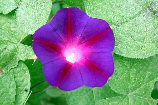 Ipomoea purpurea
