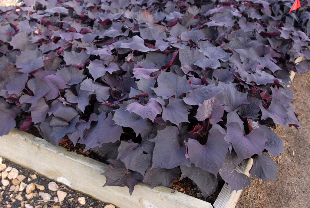 Ipomoea 'Sweet Caroline Bewitched' Form