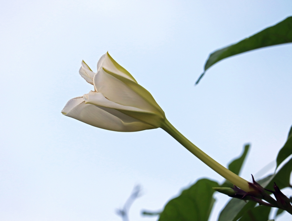 Ipomoea alba flower budding