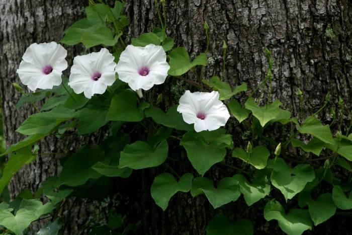 Ipomoea pandurata leaves and flowers