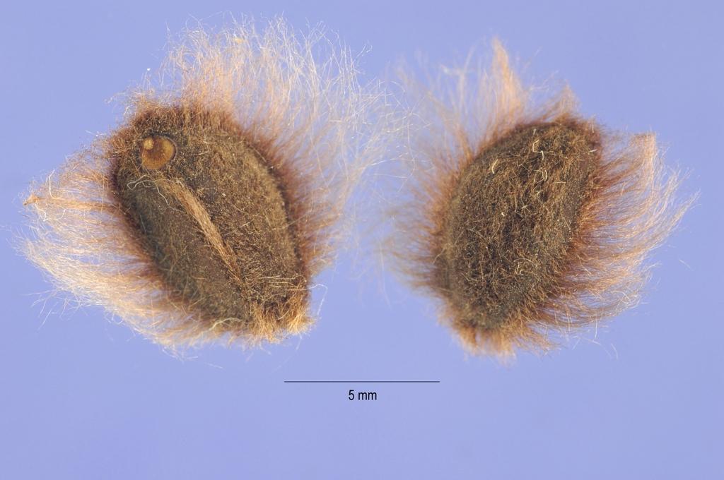 Ipomoea pandurata seeds