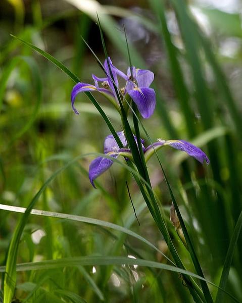 Iris hexagona