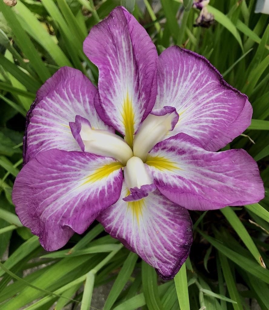 Iris-Ensata-Agippinella Flower, Sunken Garden, Wake County