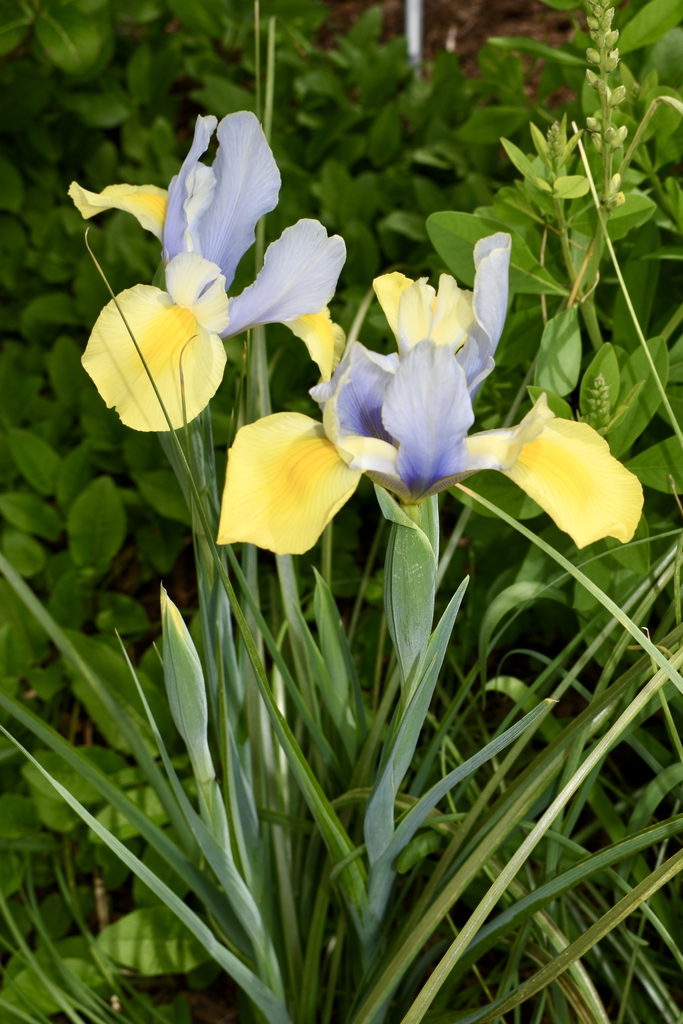 Dutch Iris 'Oriental Beauty' - Mid April - Flower - Wake Co, NC