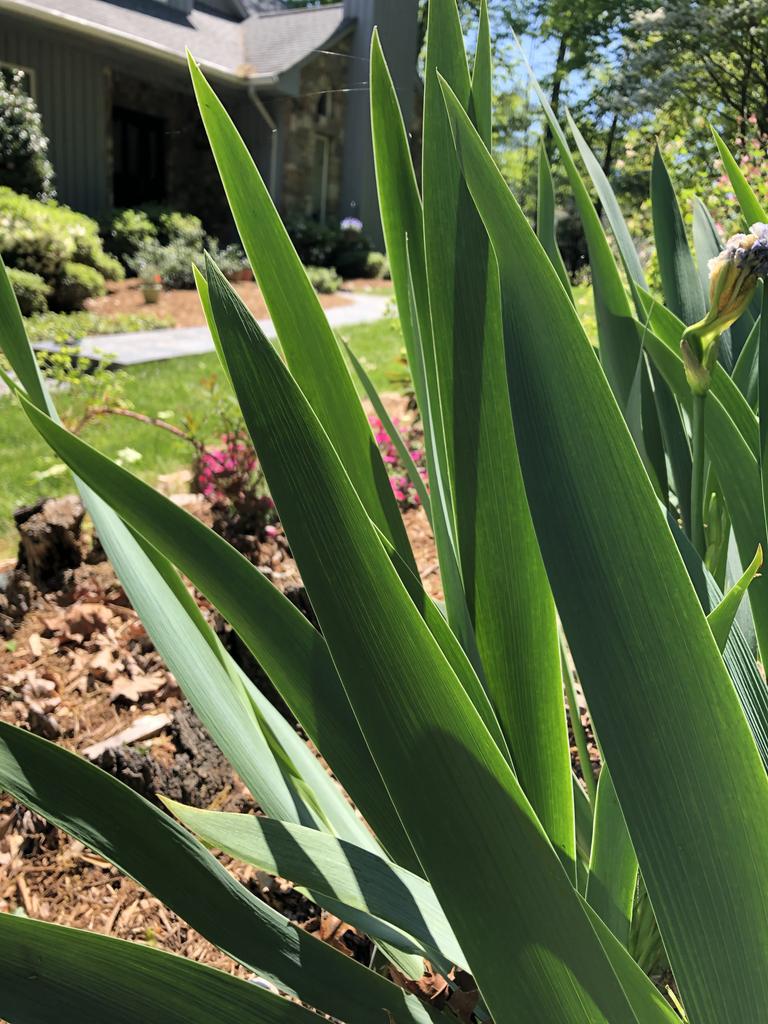 Iris x germanica