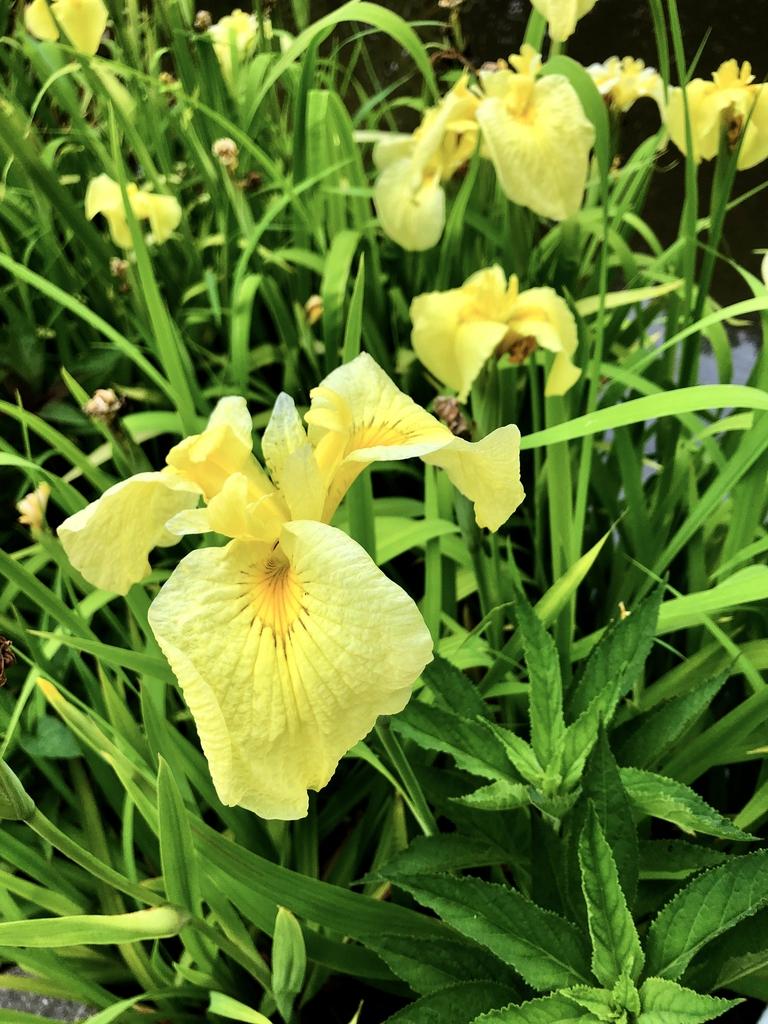 Iris - x - Pseudata - Kimboshi - Sunken Garden, Wake County