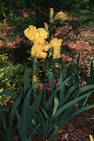 Iris xiphiodes, I. angelica, I. latifolia