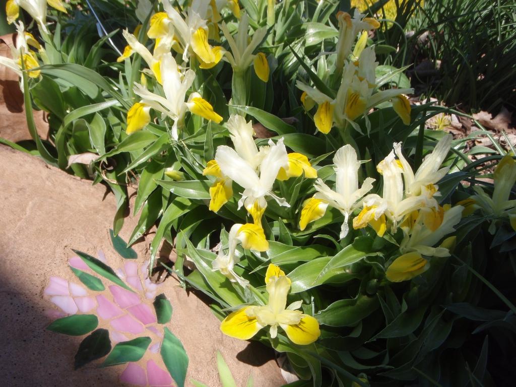 Iris x bucharica
