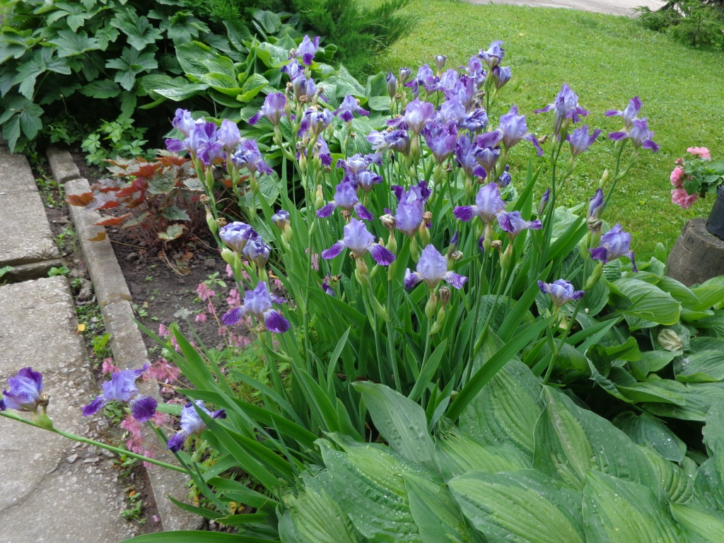 Iris germanica mass planting