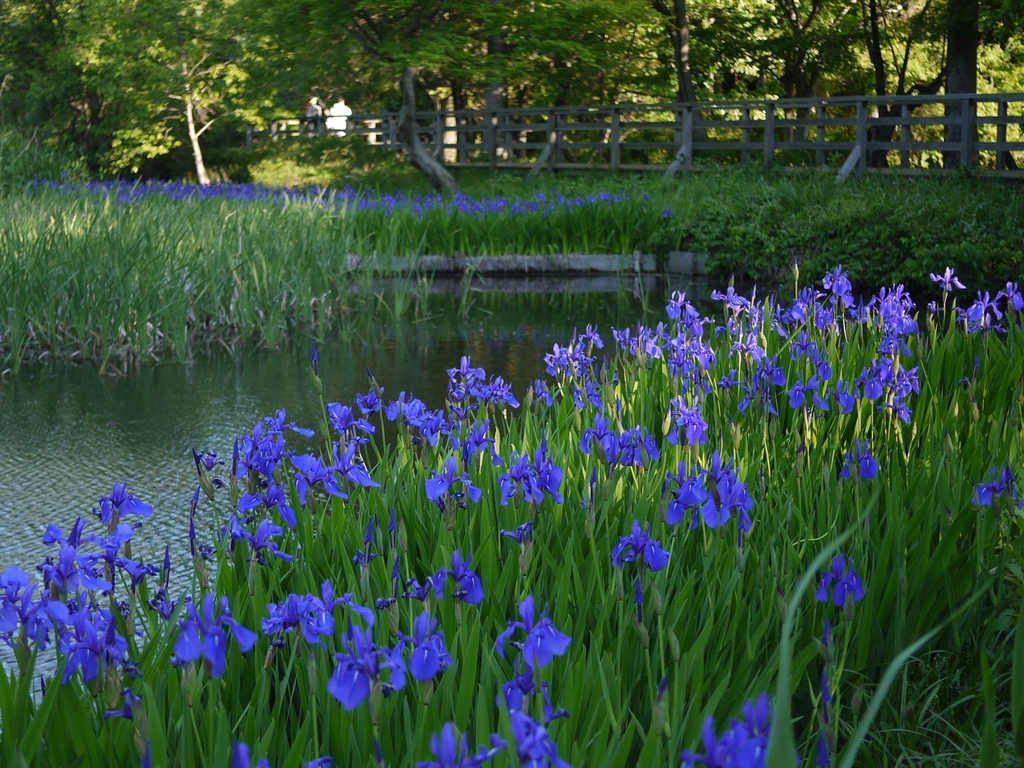 Iris laevigata bordering a pond or stream
