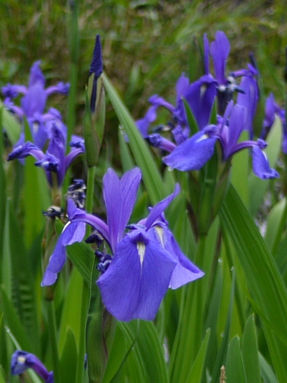 Iris laevigata flowers
