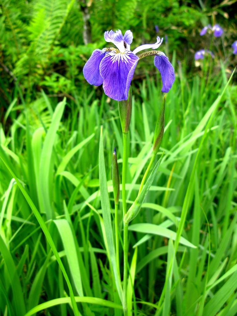 Iris setosa flower