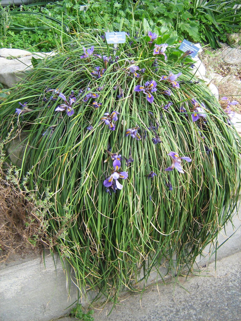 Iris unguicularis form