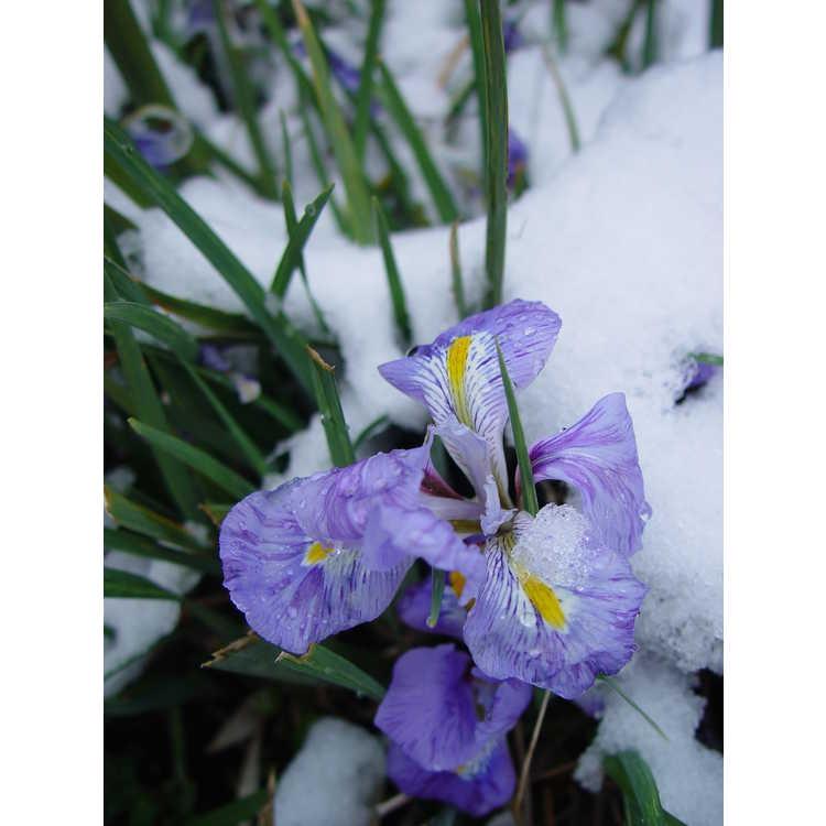 Iris unguicularis in snow